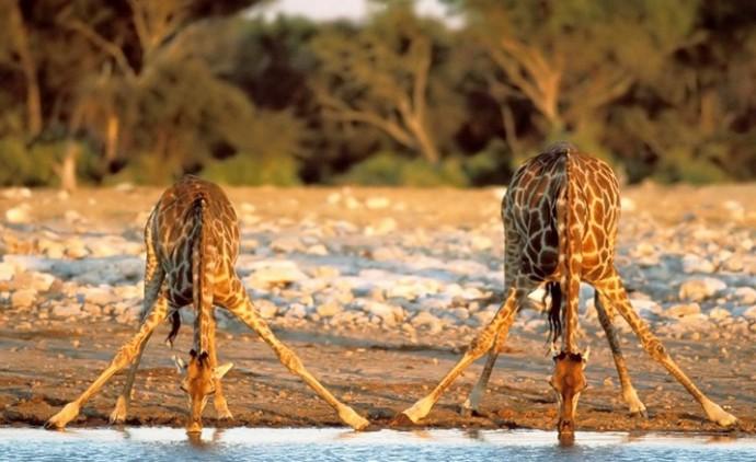 Как живут жирафы