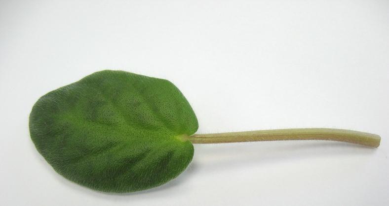 Как укоренить лист фиалки в земле — Все цветы