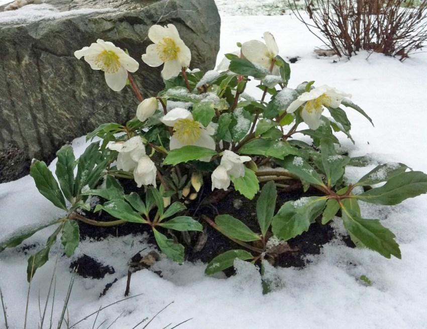 Растения для украшения участка зимой