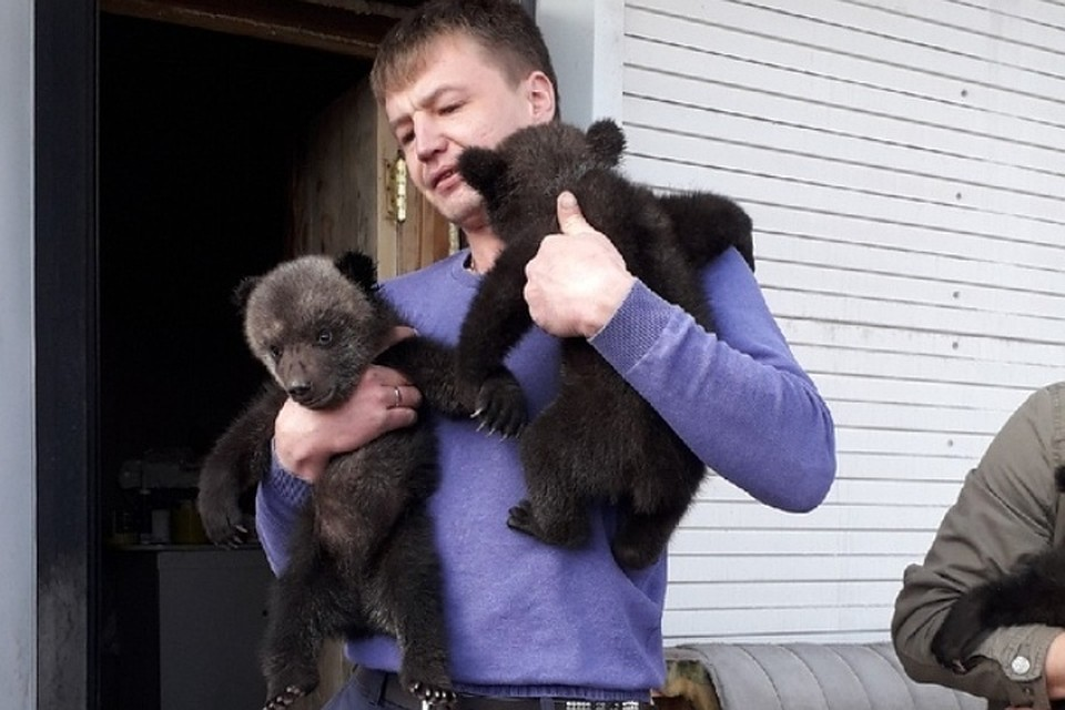 Два из трех осиротевших медвежат. ФОТО: Дмитрий Сибирцев.