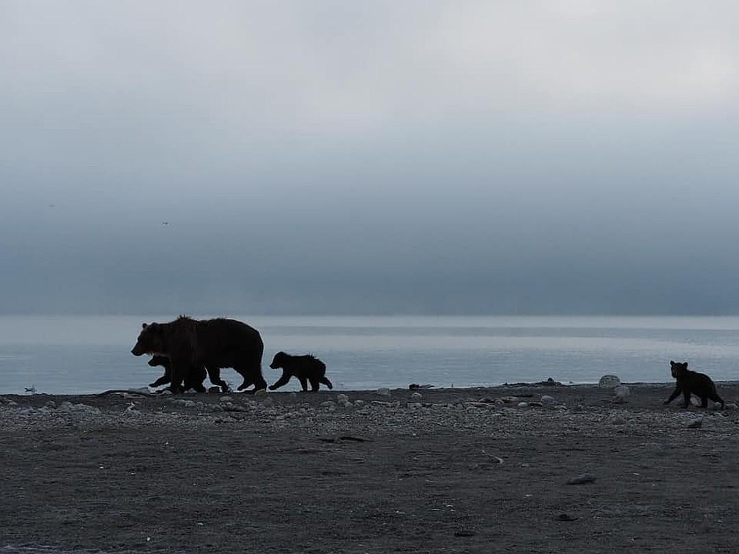 К счастью, у этой истории был счастливый конец, и вся медвежья семья в полном ее составе скрылась за горизонтом. ФОТО: Владимир Омелин.