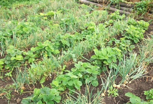 Три урожая с грядки, или как получить с участка максимум
