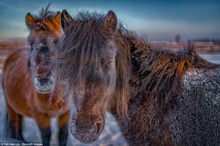 Якутские лошади - удивительные животные, выживающие при экстремально низких температурах