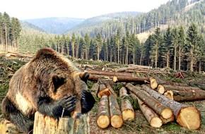 Нужно ли спасать русский лес от китайцев? новости,события,экономика