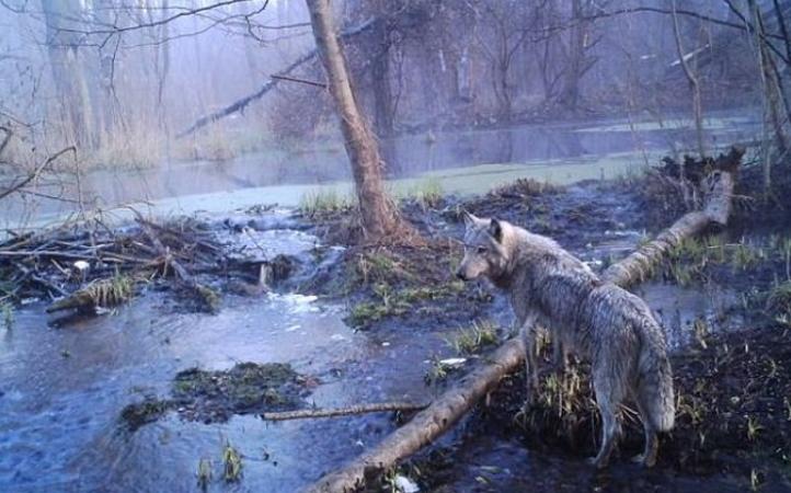 В то, что было снято на камеры в лесах Чернобыля — люди отказываются верить. Только посмотрите на фотографии супер