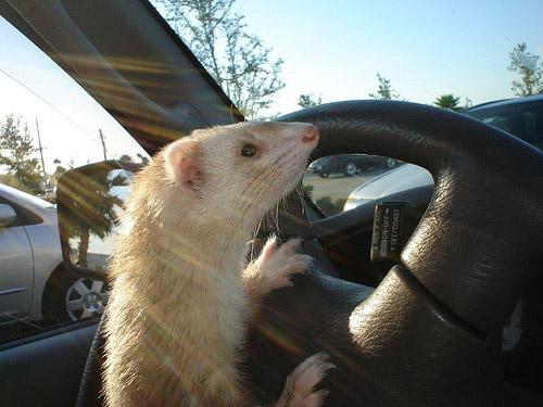 Картинки по запросу за рулем крыса