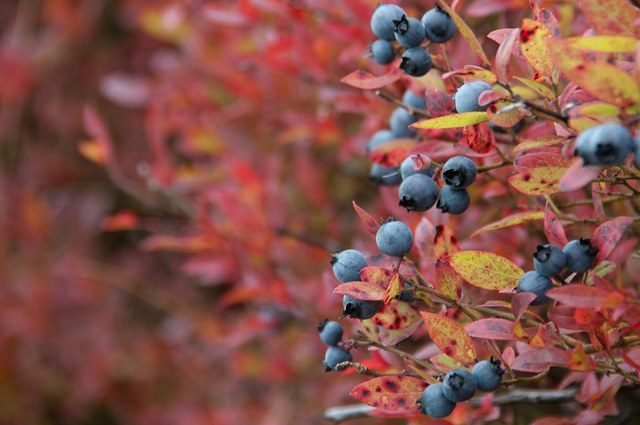 голубика осенью
