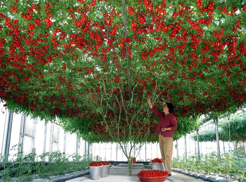 Томатное дерево «Спрут». Просто невероятно