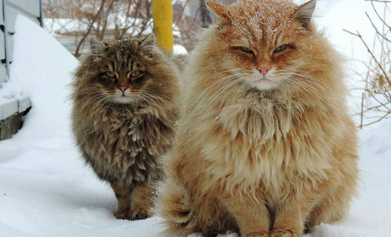 Siberian-Cats_photo-Alla-Lebedeva73