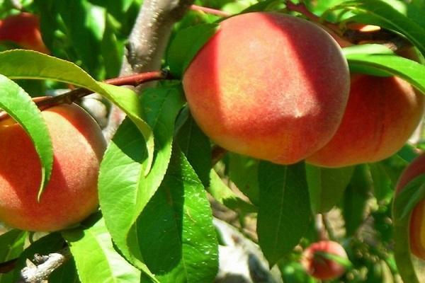 описания персика