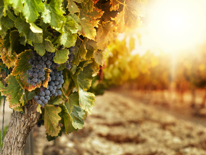 Как правильно пересадить взрослый куст винограда - Smak.ua