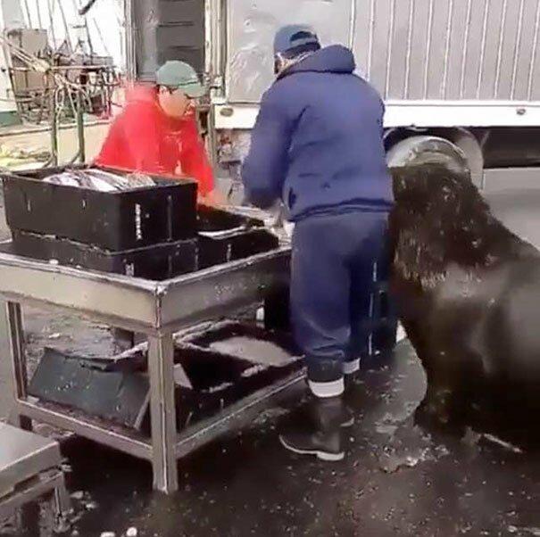Морской лев пришел на рыбный рынок и попросил угощения Эффективность, видео, животные, животные и люди, морские животные, морской лев, покормите животное, сообразительность