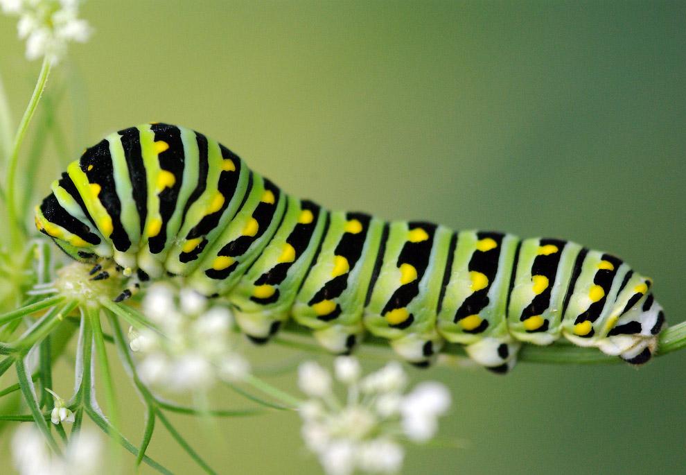 Бабочка Papilio polyxenes