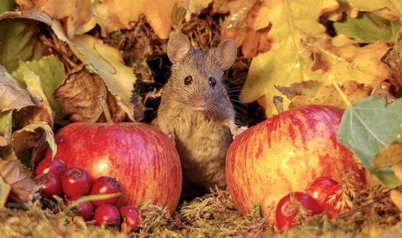 Фотограф приютил в своем саду полевку и понеслось - теперь там целая мышиная деревня с охраной животные, мыши, фото