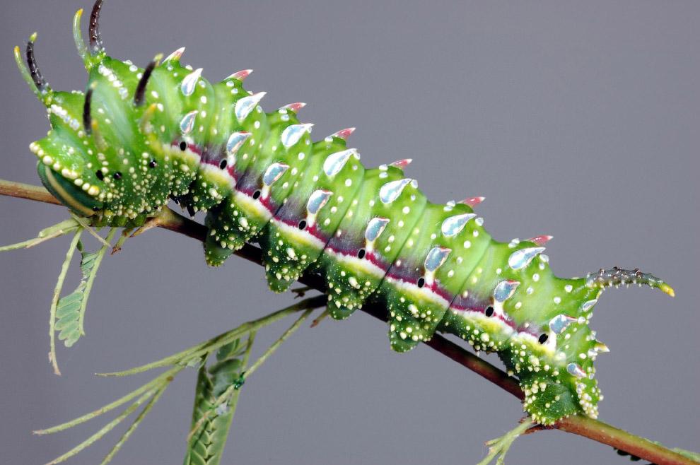 Бабочка Syssphinx hubbardi