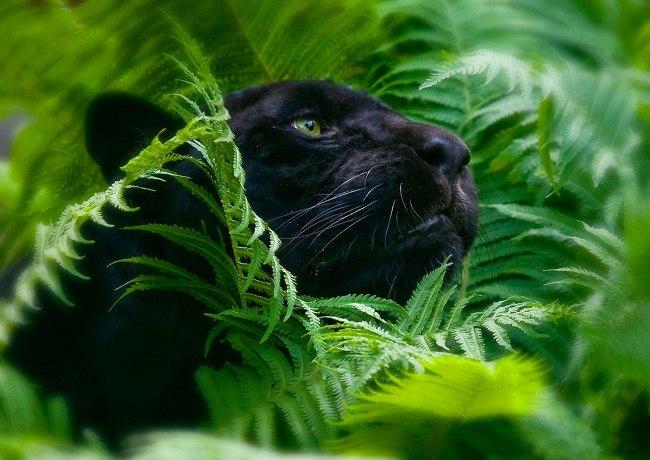 Пантера -Богиня ночи