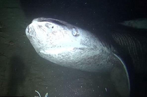 Сделана уникальная видеозапись с гренландскими акулами