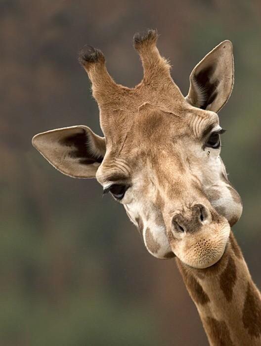 Прикольные картинки на аву жирафа, красивые