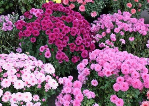 Хризантемы садовые: многолетние сорта с фото и названиями