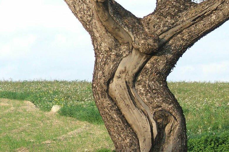 Дерево Иисуса Христа (Дерево Распятия) , Мальта бывает же такое, деревья, жизнь, интересное, растения, факты