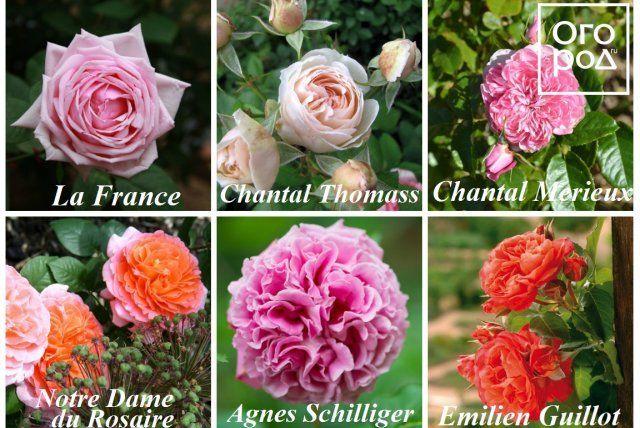 Розы Гийо