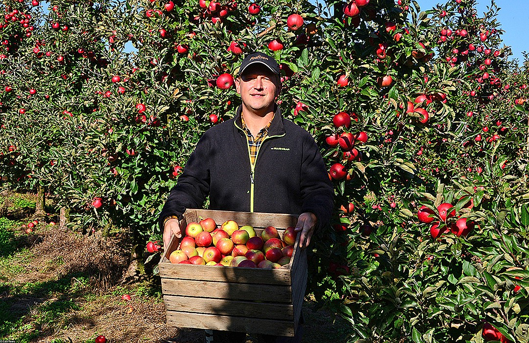 Зачем Россия импортирует более миллиона тонн яблок в год, хотя они растут на каждой даче