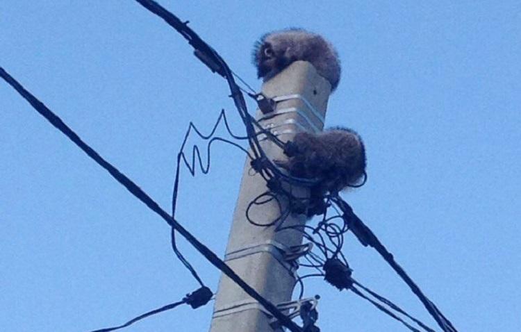 Пару спящих енотов спасли с электроопоры в Новороссийске
