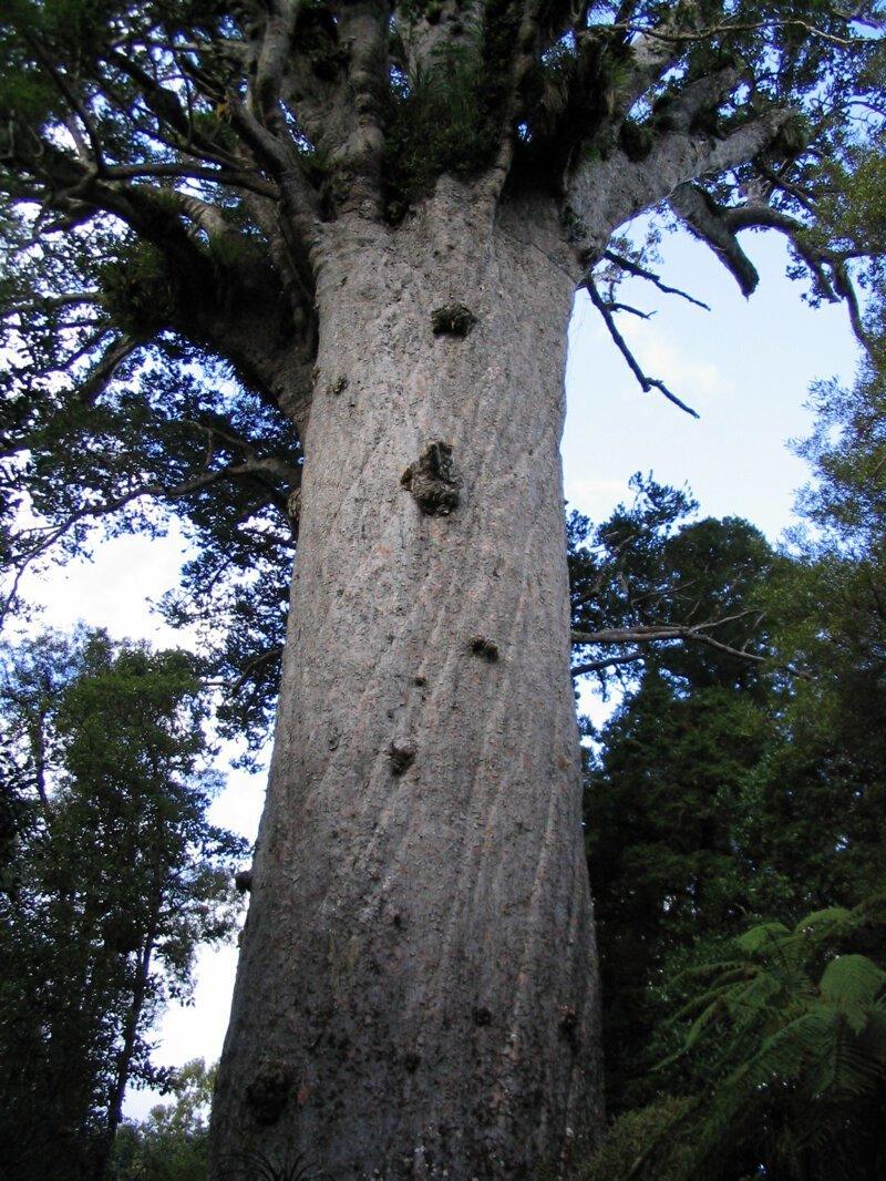 Тане-махута (Tane Mahuta) - дерево реликвия, по преданиям самое старое дерево на Земле бывает же такое, деревья, жизнь, интересное, растения, факты