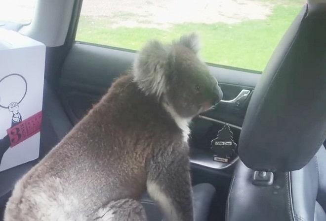 Коала в машине