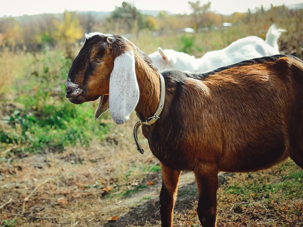 6 самых популярных восточных пород коз и особенности их содержания