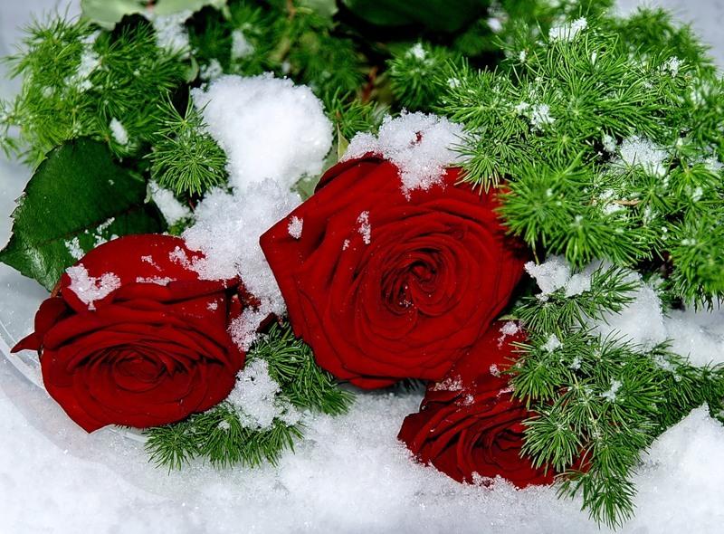 может картинки розы поздравляю с новым годом одно традиционных