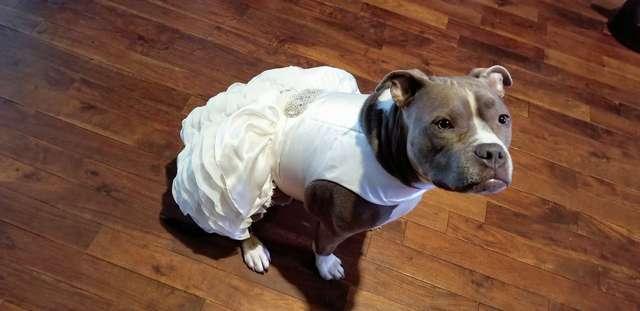 Пятимесячную кроху взяли из приюта. Собака выросла, и теперь хозяйка приглашает ее на свою свадьбу истории из жизни