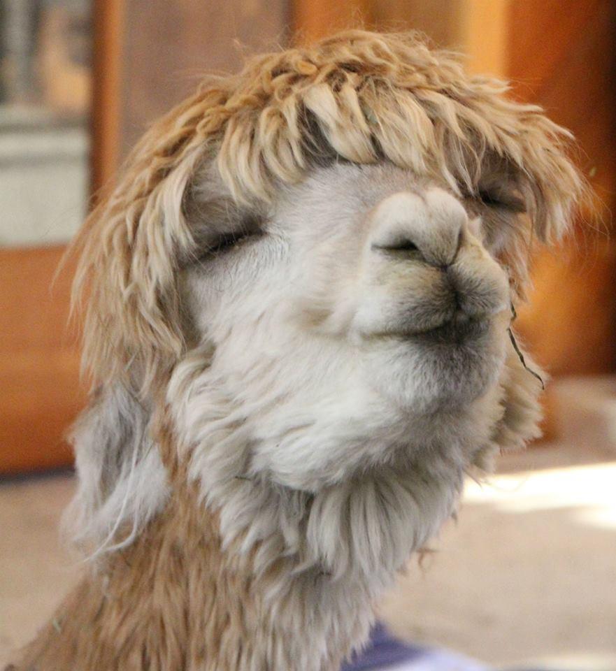 Смешная лама картинка