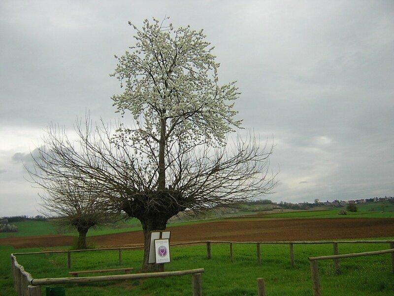 Bialbero ди Казорцо ( итальянское : «двойное дерево Казорца»),  также известеное как Гран Double Tree бывает же такое, деревья, жизнь, интересное, растения, факты