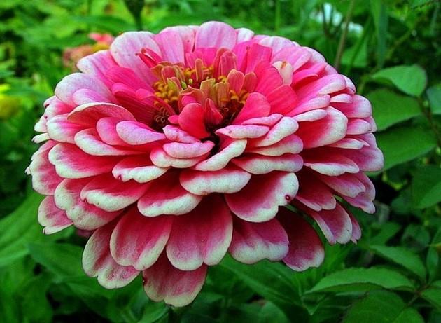 цинии фото цветов