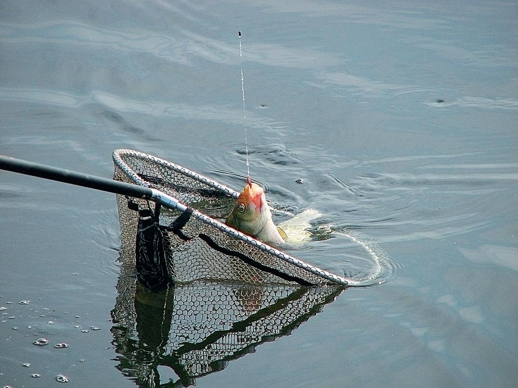 Рыбу нужно заводить в опущенный в воду подсачек, а не ловить её сеткой, как бабочку.