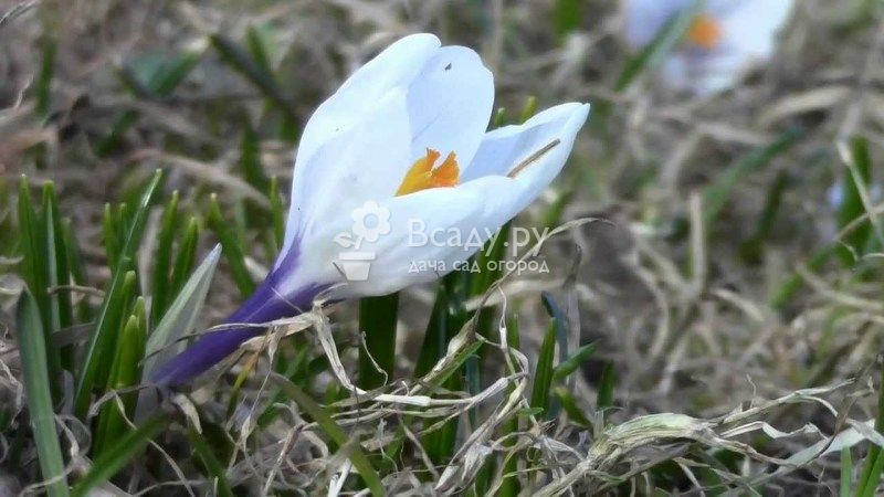 Первый весенний цветок