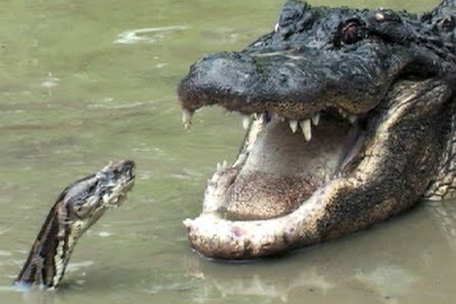 Огромный питон атаковал аллигатора и пожалел Культура