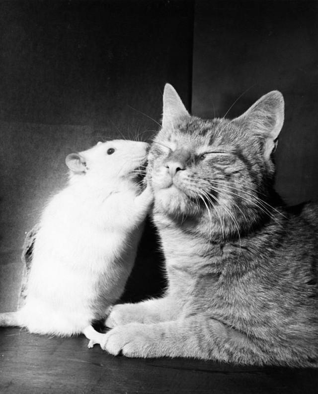 Кошка и белая крыса живут в мире и согласии. Когда разновидовые животные растут вместе, они часто утрачивают враждебность, апрель 1964 national geographic, неопубликованное, фото