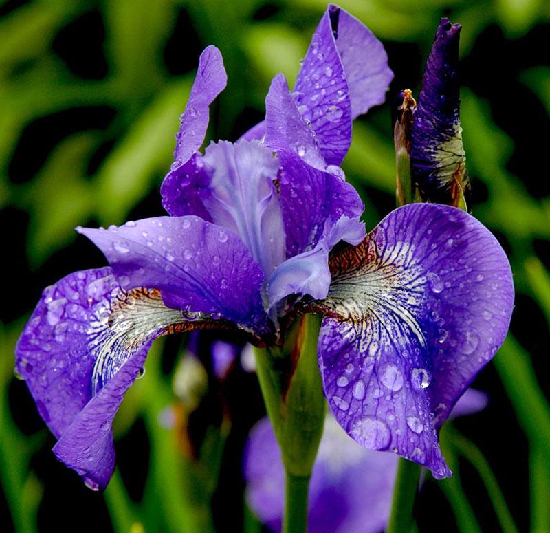сложилась жизнь, фотографии цветка ириса кого играет