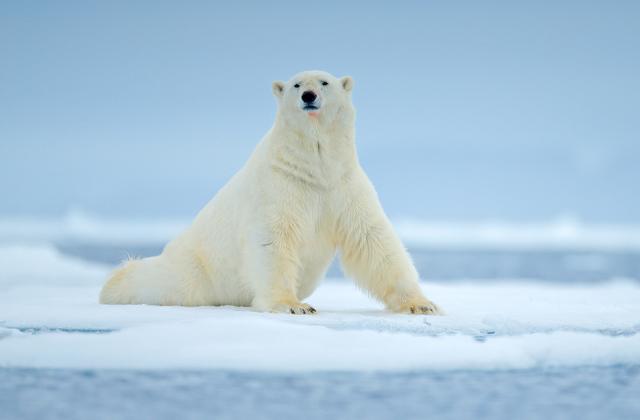 Какого цвета шерсть белого медведя на самом деле?