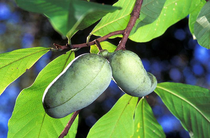 Плод со вкусом заварного крема