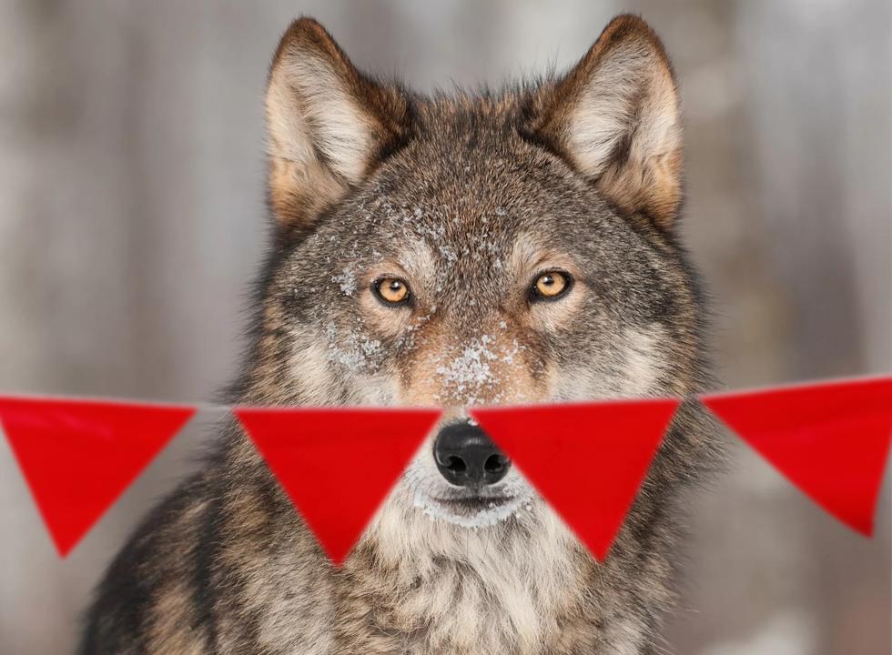 Почему волки панически боятся красных флажков?