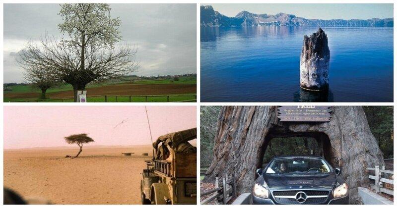 10 совершенно фантастических историй из жизни деревьев бывает же такое, деревья, жизнь, интересное, растения, факты