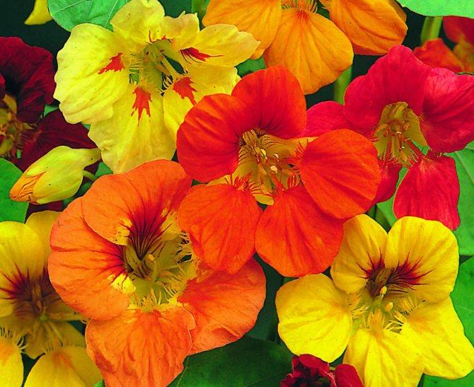 как цветы настурция выращивание фото если