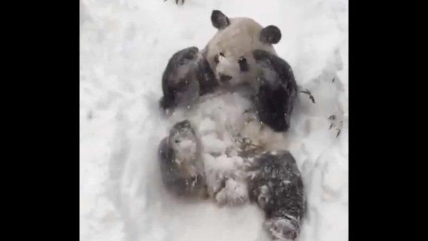 Панды делают сальто на снегу