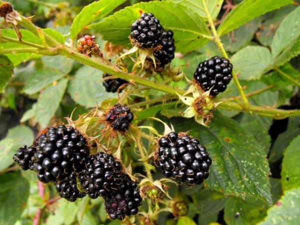 Полезные советы по выращиванию сладкой ежевики в новом сезоне. Маленькие хитрости садовода