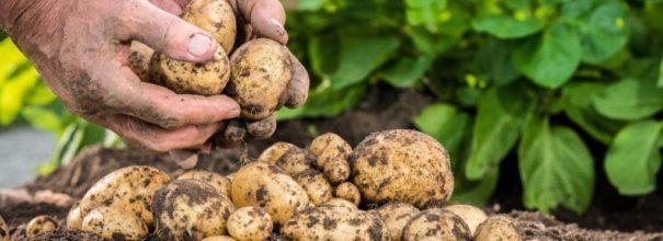 Способы и схемы посадки картофеля, как и на какую глубину сажать - Огород, сад, балкон