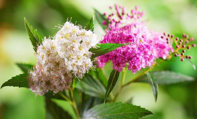 Популярные виды и сорта спиреи для вашего сада – фото, названия, описания