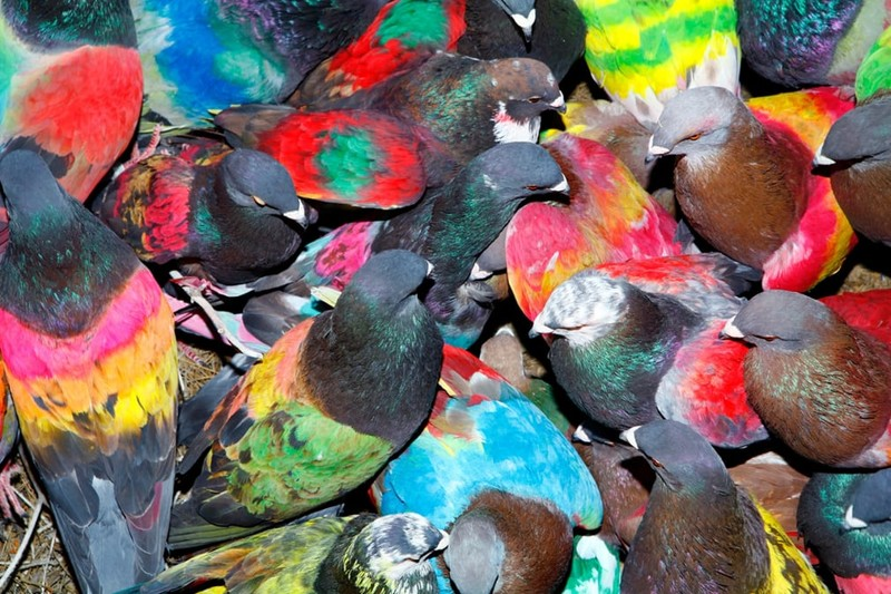 Зачем испанцы красят голубей?